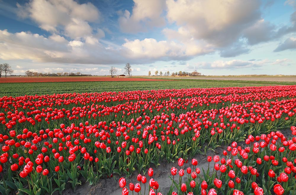 Celebrate Spring in Washington During the Skagit Valley Tulip Festival!